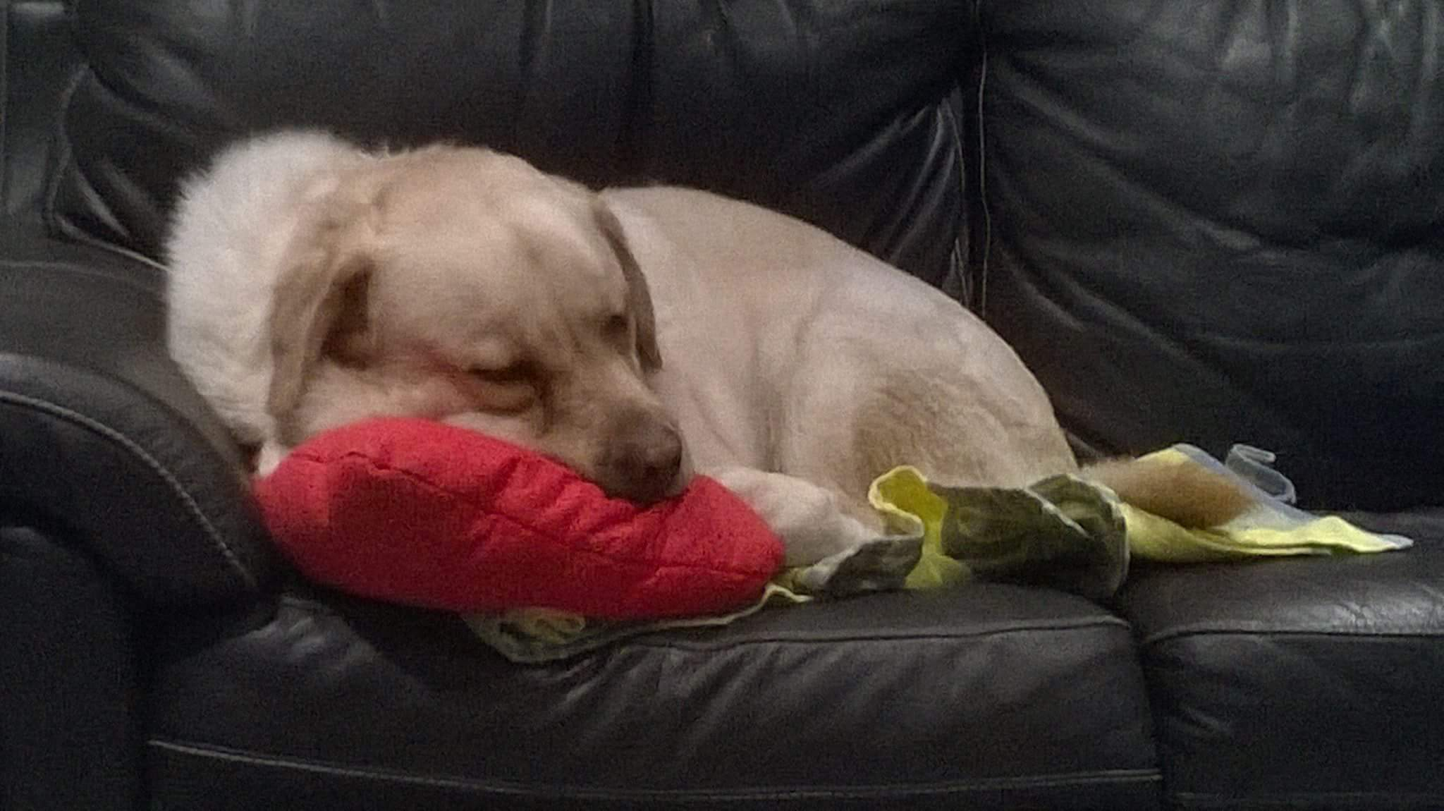 Reference] Paddington, New South Wales (One large, friendly Labrador