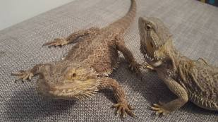 Bearded Dragon2